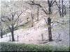 葉桜ing