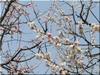 梅の花色違い