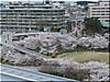空中回廊・桜