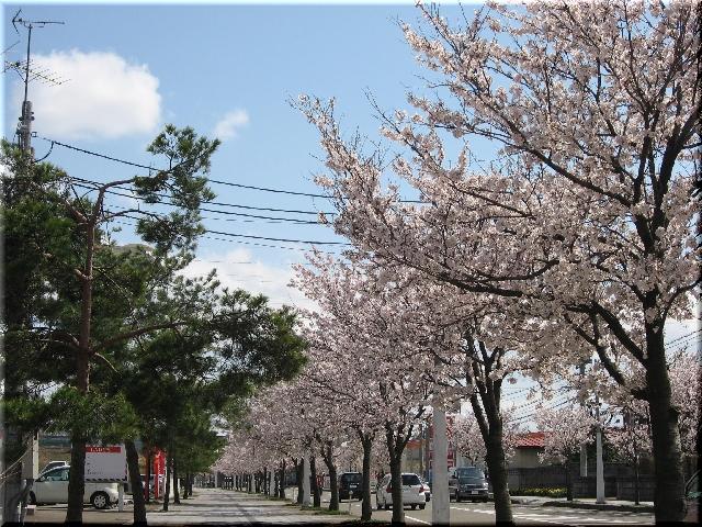 上越(高田)の桜並木