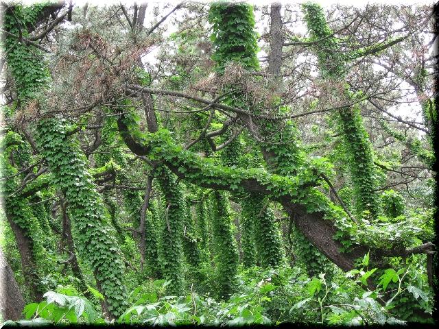 蔦の茂る防風林