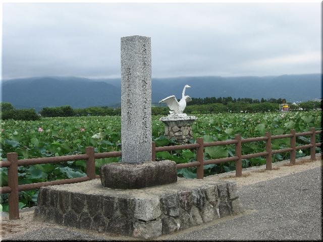 蓮が生い茂る白鳥の飛来地・瓢湖